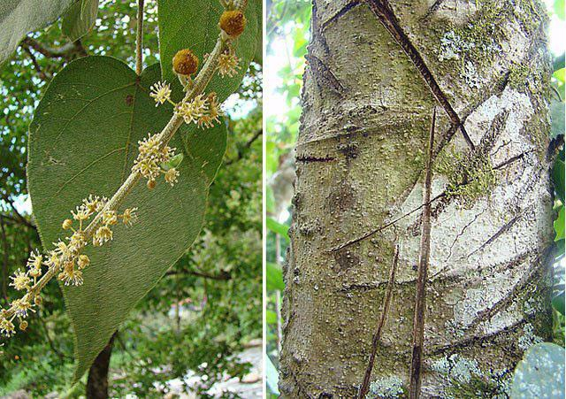 Strom Croton lechleri - zdroj dračí krve
