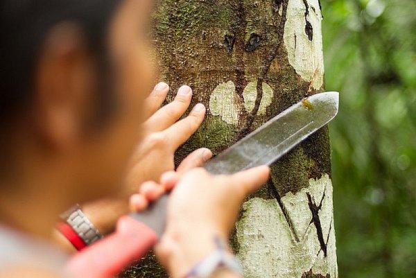 Dračí krev: blahodárný lék z tropické Amazonie